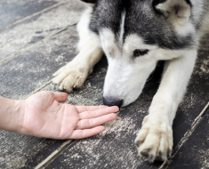 How to Take Care of a Siberian Husky Dog
