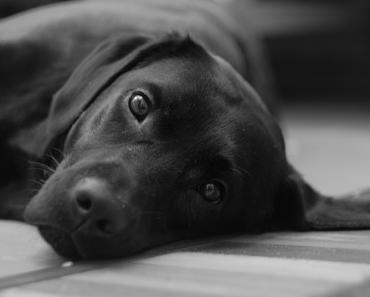 Dog Pregnancy Signs & Symptoms Pregnant