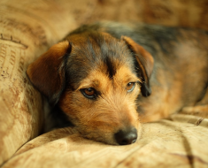 Home Remedies for Worms in Dogs Puppies